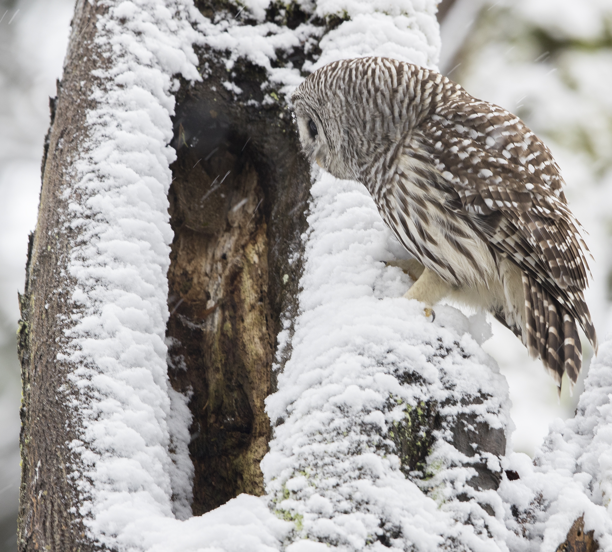 searching for owls in discovery park with wildlife photographer
