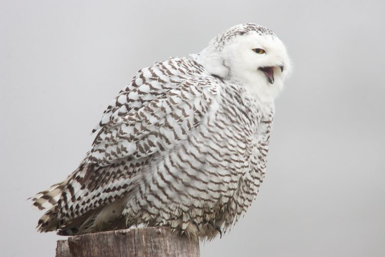 paul bannick, snowy owl