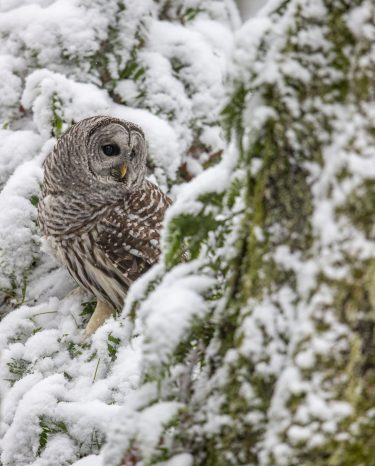 barred owl, paul bannick