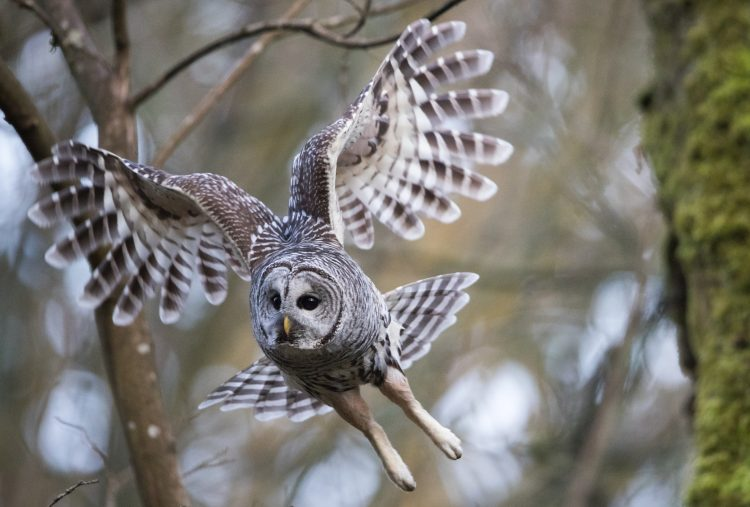 paul bannick, barred owl