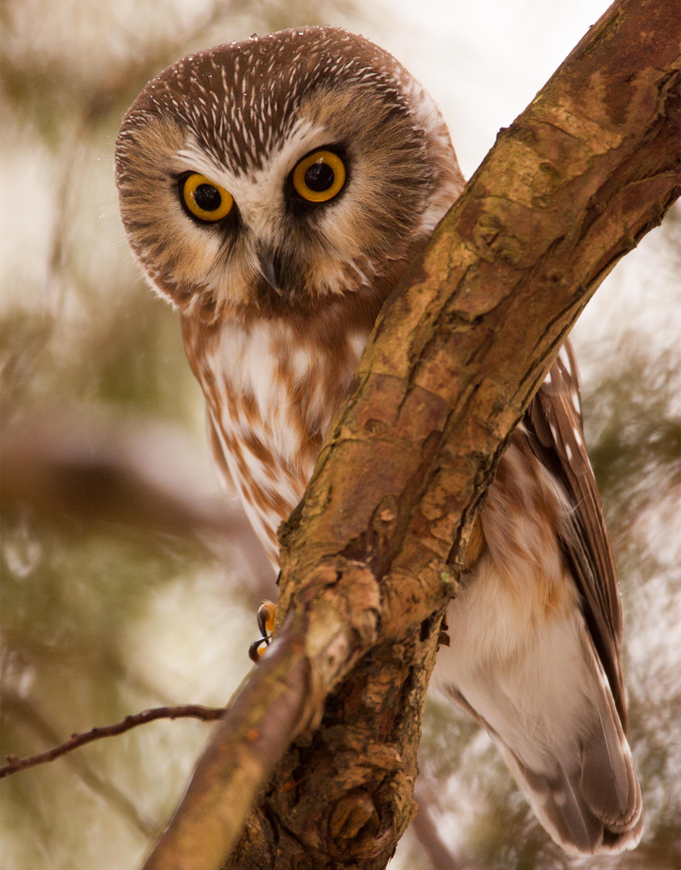 How To Spot An Urban Owl In Seattle Uw Magazine University Of Washington Magazine